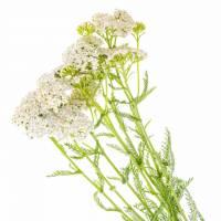 KRWAWNIK-Zdrowotny Składnik Naszych Herbat- WEJDŹ I SPRAWDŹ