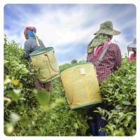 Herbaty czarne liściaste, cejlońskie, owocowe z dodatkami - sklep, hurtownia online