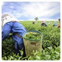 Zielone Herbaty