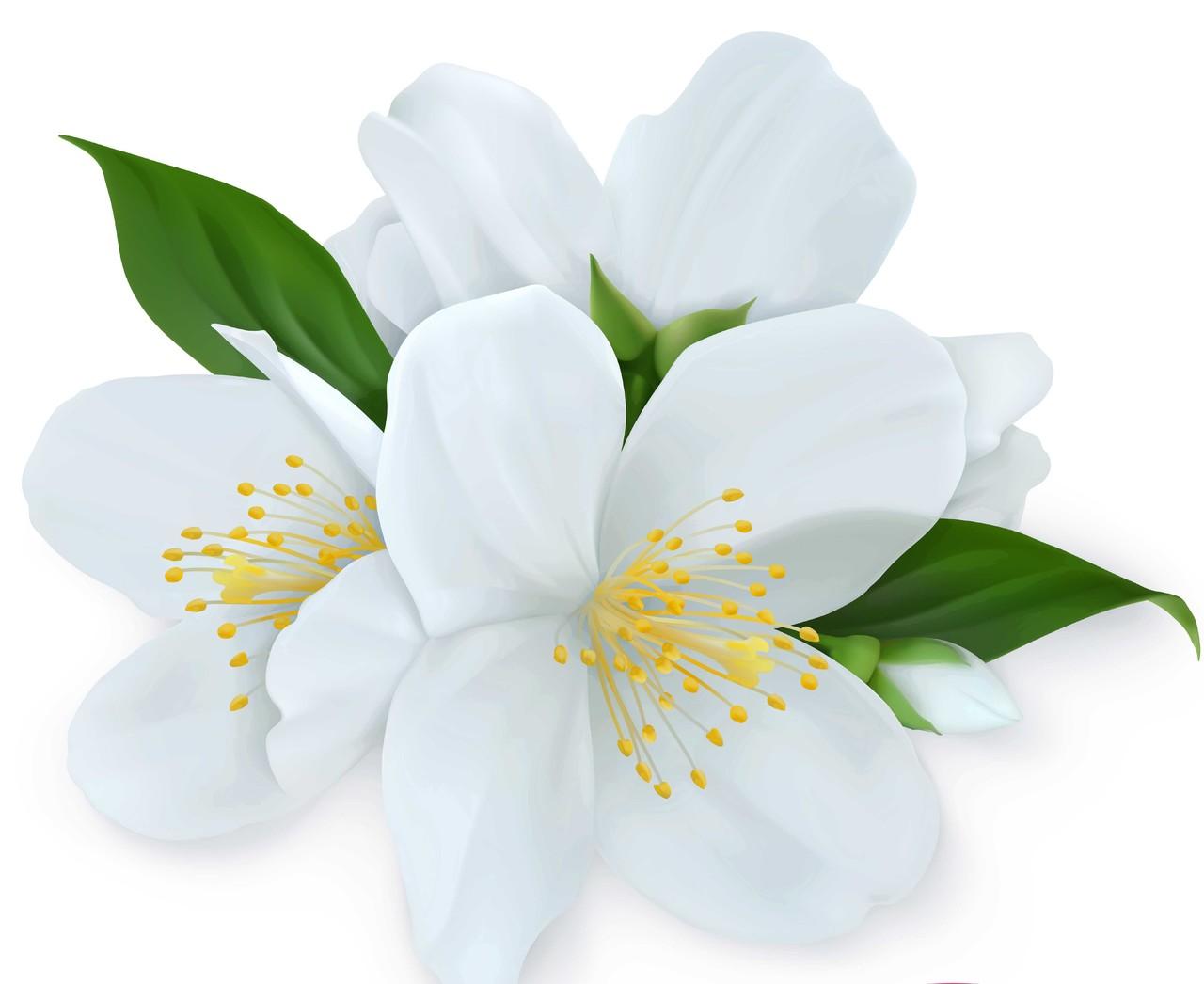 kwiat-jaśminu