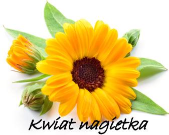 kwiat-nagietka