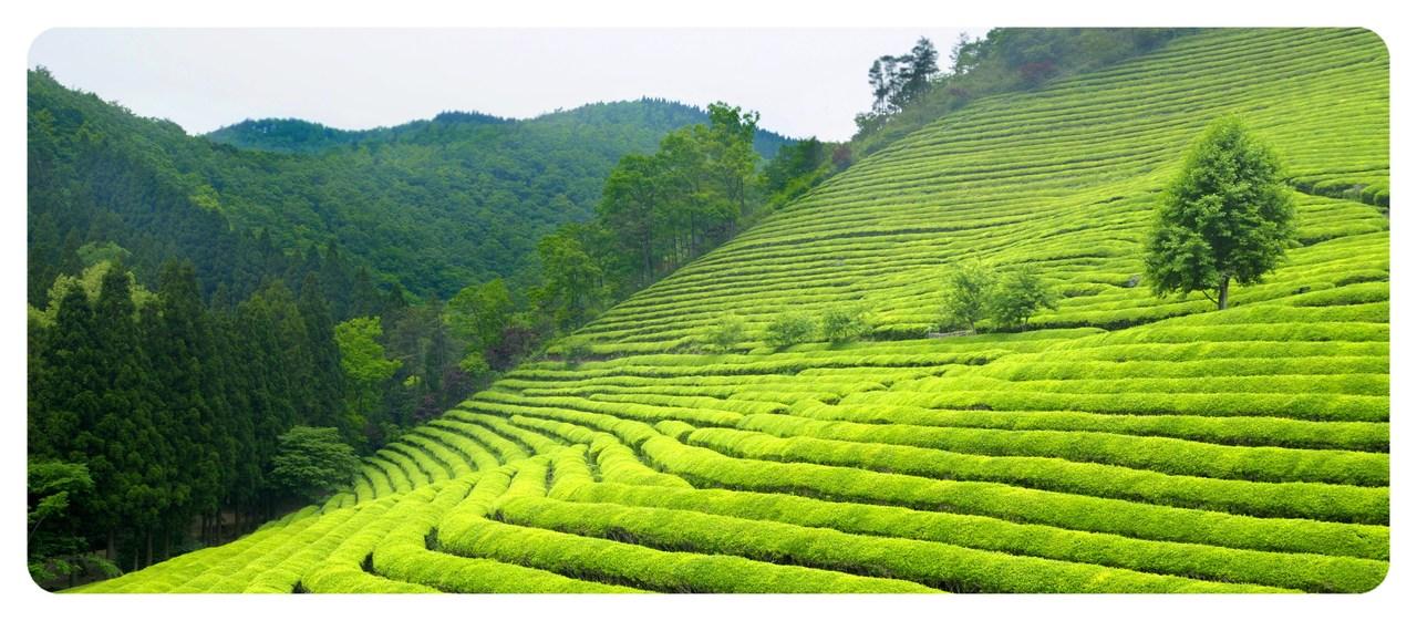 plantacja-herbaty