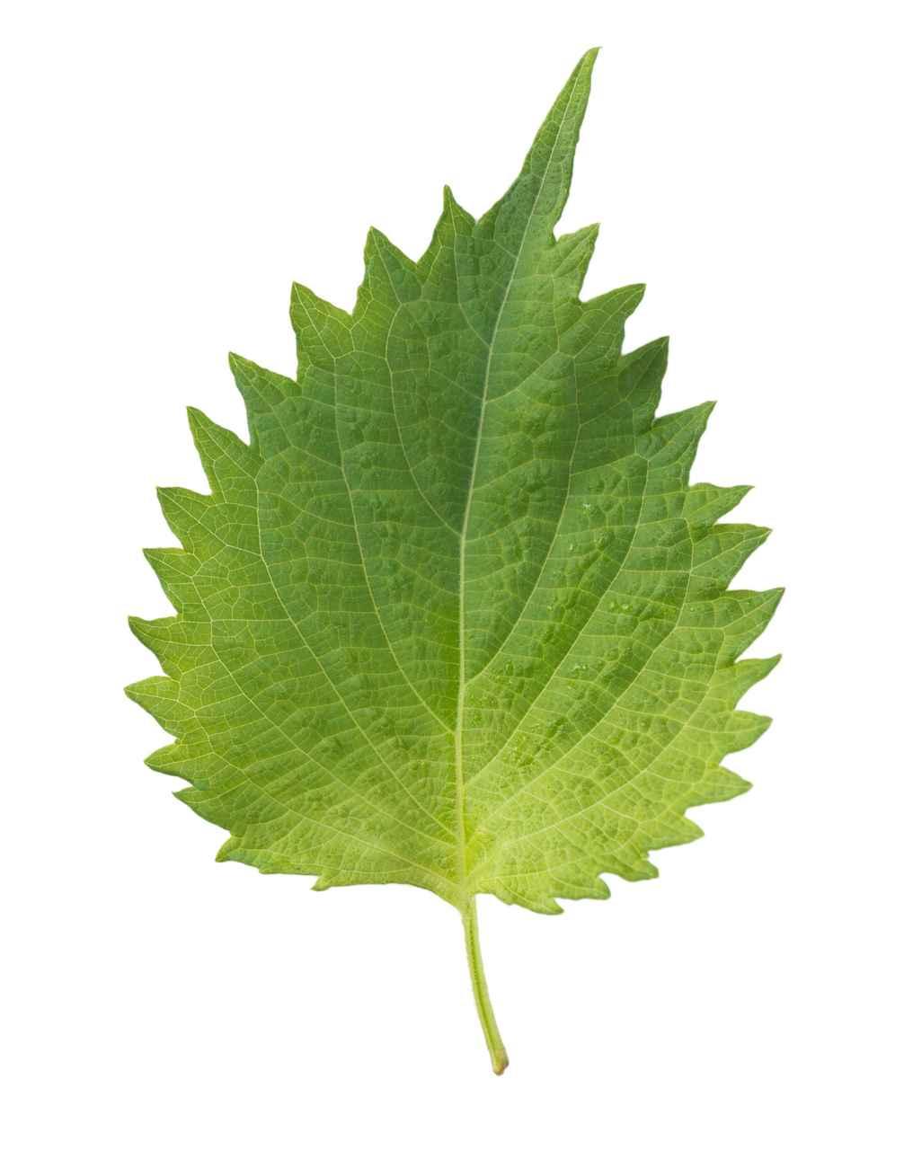 liść-pokrzywy
